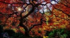 森林 树木 树叶 红叶 风景