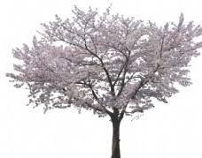 桃花樱花超精细抠图